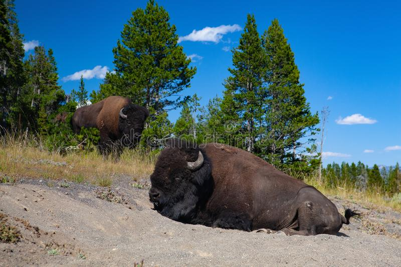 北美野牛在黄石国家公园,怀俄明 美国 免版税库存图片