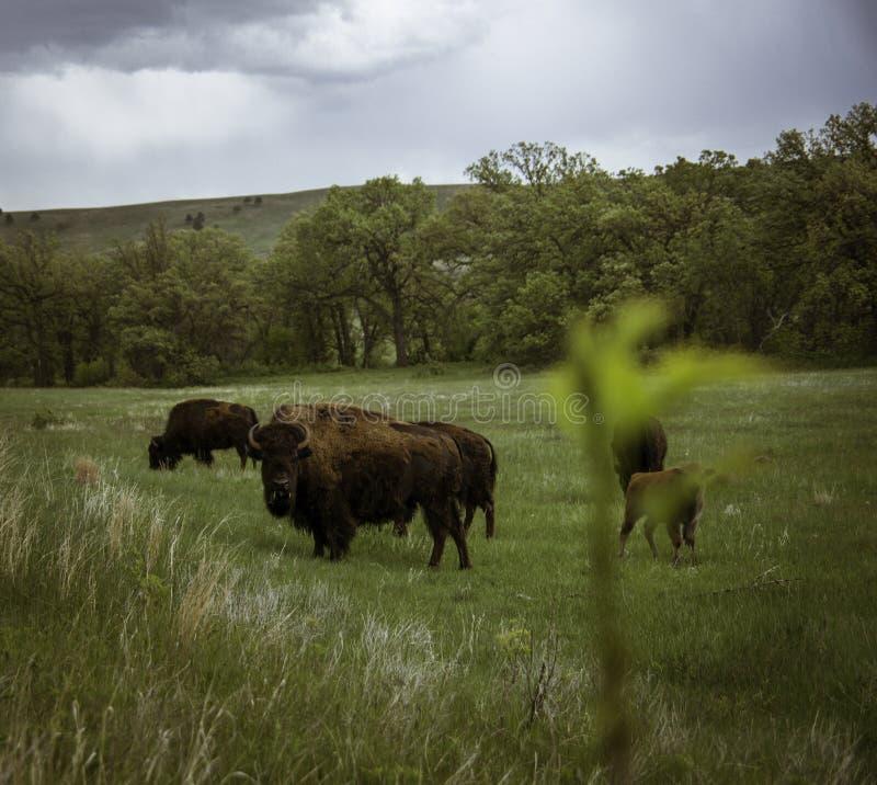 北美野牛在Custer 免版税图库摄影