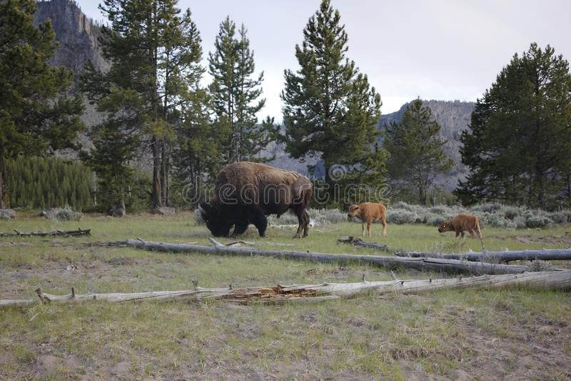 北美野牛妈妈和她的小牛! 库存图片