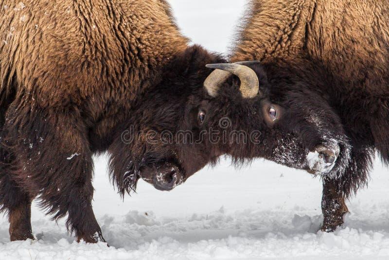 北美野牛小冲突 免版税库存图片