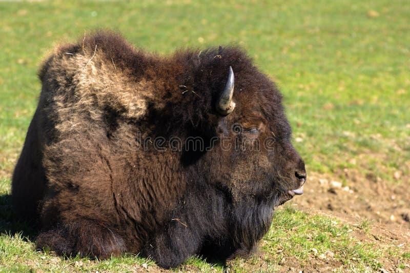北美野牛欧洲 免版税库存照片