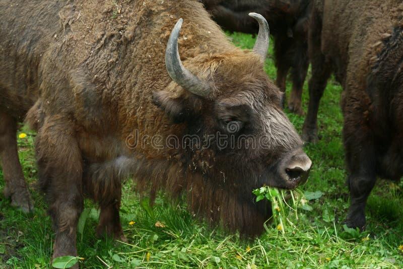 北美野牛欧洲 免版税图库摄影