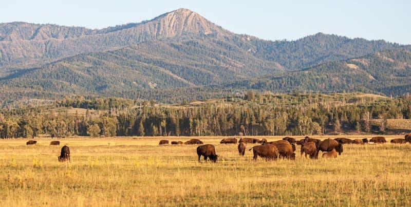 北美野牛牧群在平原的在大提顿峰国民 免版税库存照片
