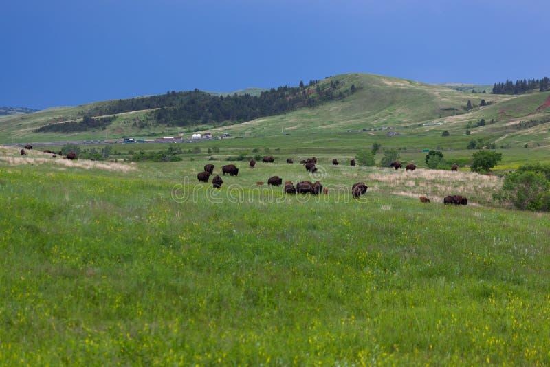 北美野牛牧群在Custer国家公园,SD 免版税图库摄影