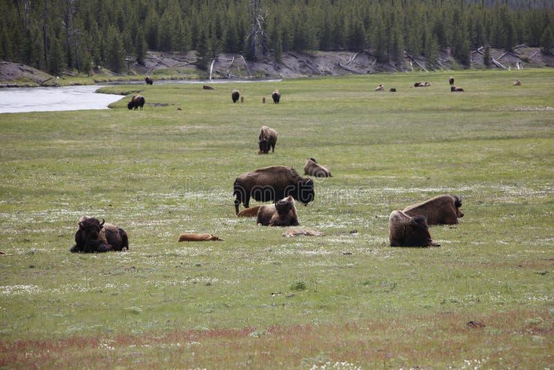 北美野牛牧群 库存照片