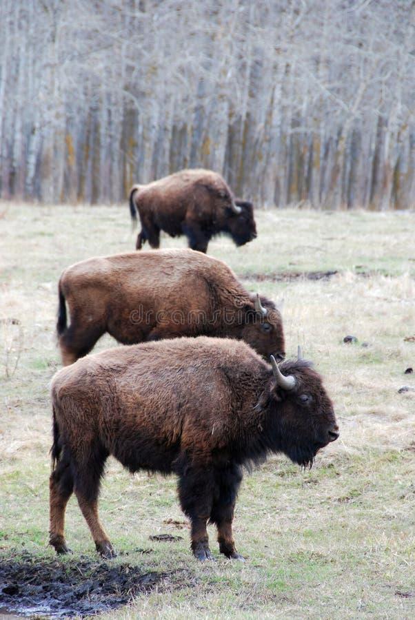北美野牛牧群 免版税图库摄影