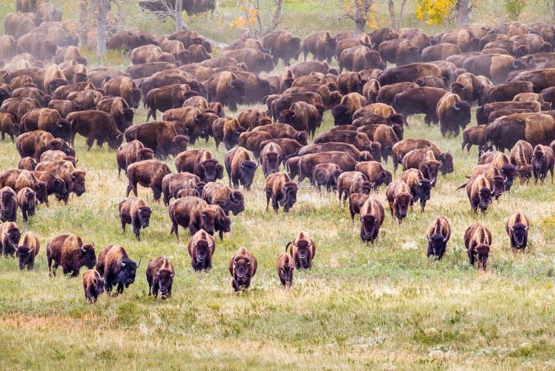 北美野牛牧群 库存图片