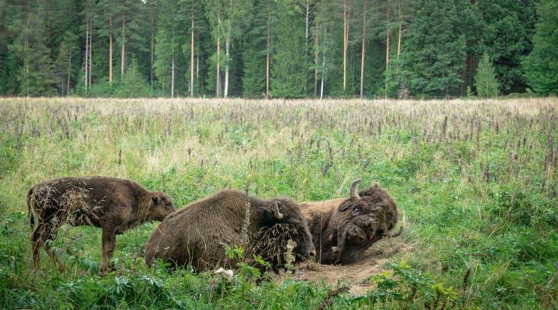 北美野牛的大男性和崽在国立公园 库存图片