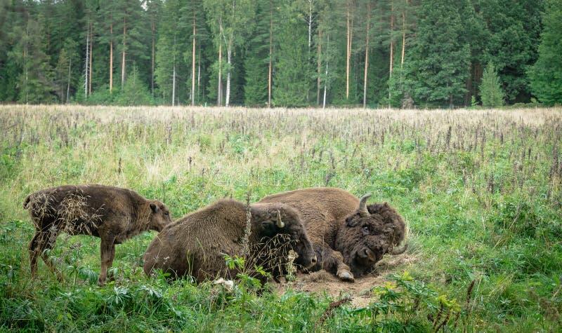 北美野牛的大男性和崽在国立公园 免版税库存照片
