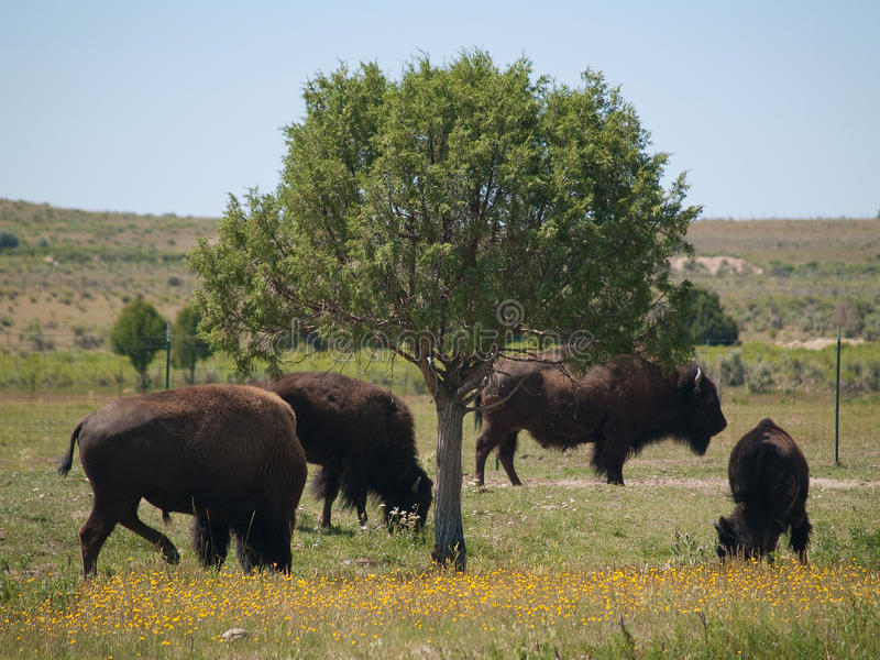 北美野牛科罗拉多 免版税库存图片