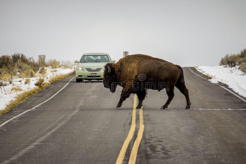 北美野牛穿过在汽车前面的路 免版税库存图片