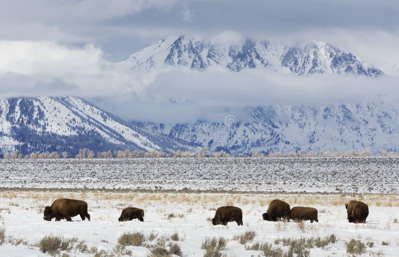 北美野牛,冬天,盛大Tetons国家公园 库存照片
