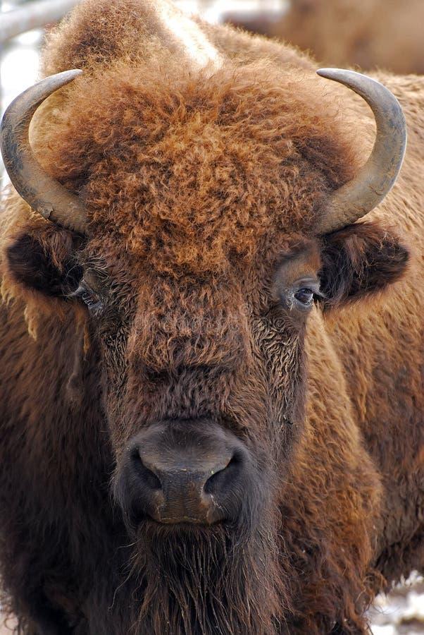 北美野牛,正面图 库存图片