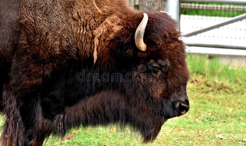 北美野牛,水牛城,俄克拉何马市动物园 库存照片
