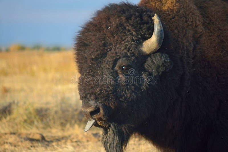 北美野牛水牛城伸出舌头 图库摄影