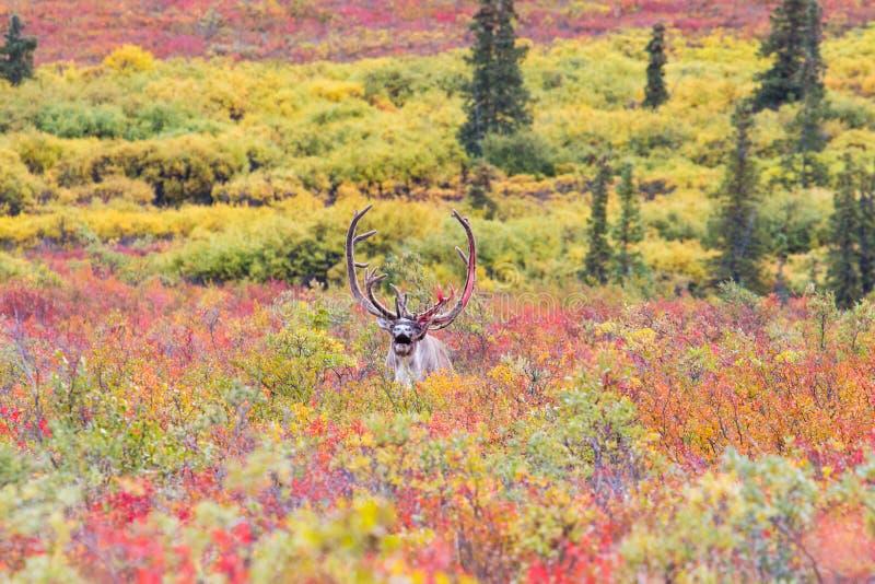 北美驯鹿在秋天在Denali国家公园在Alask 免版税库存照片