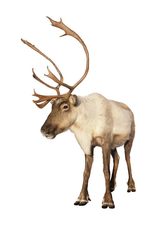 北美驯鹿完全查出的驯鹿 库存照片