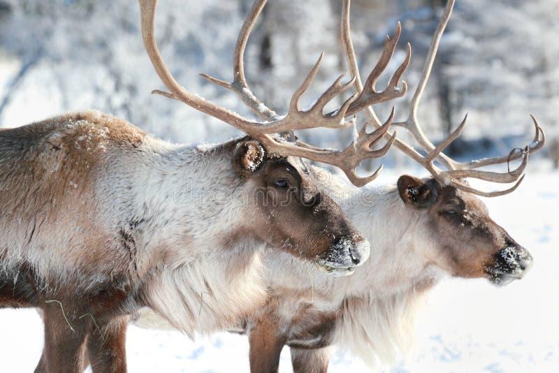北美驯鹿 库存图片