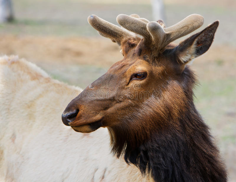 年轻北美驯鹿头 免版税图库摄影
