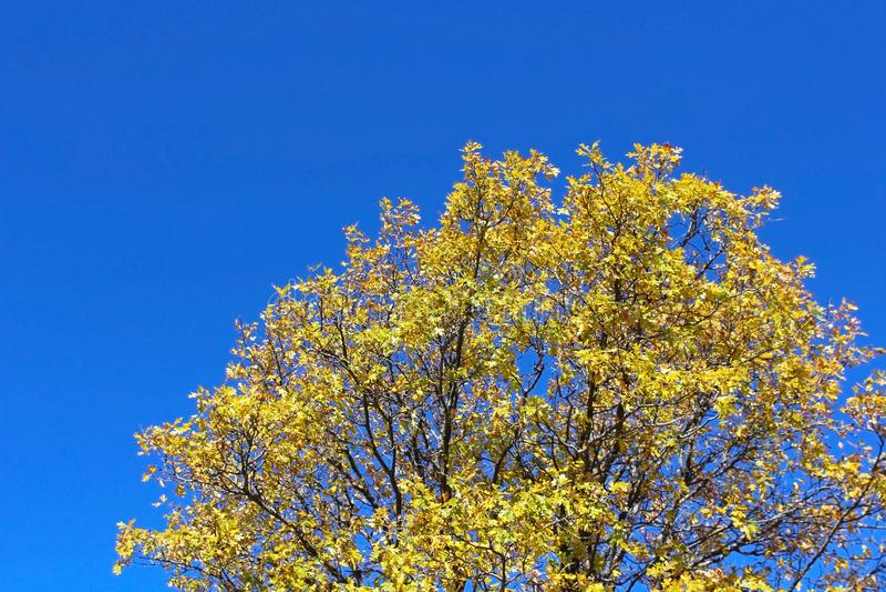 北美鹅掌揪在杰斯马丁公园,朱利安,加利福尼亚 库存图片