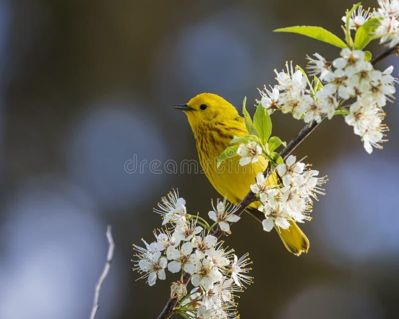 北美黄色林莺刚毛虫类petechia 库存图片