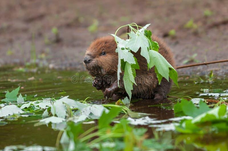 北美洲海狸(铸工canadensis)成套工具站立在叶子下 免版税库存照片