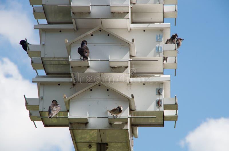 北美洲紫燕议院 库存照片