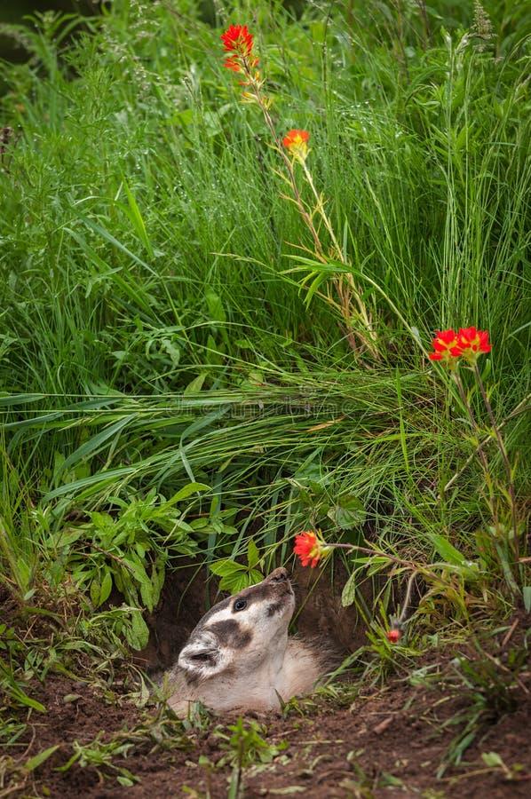 北美洲獾獾亚科类罗汗松嗅在花 库存照片