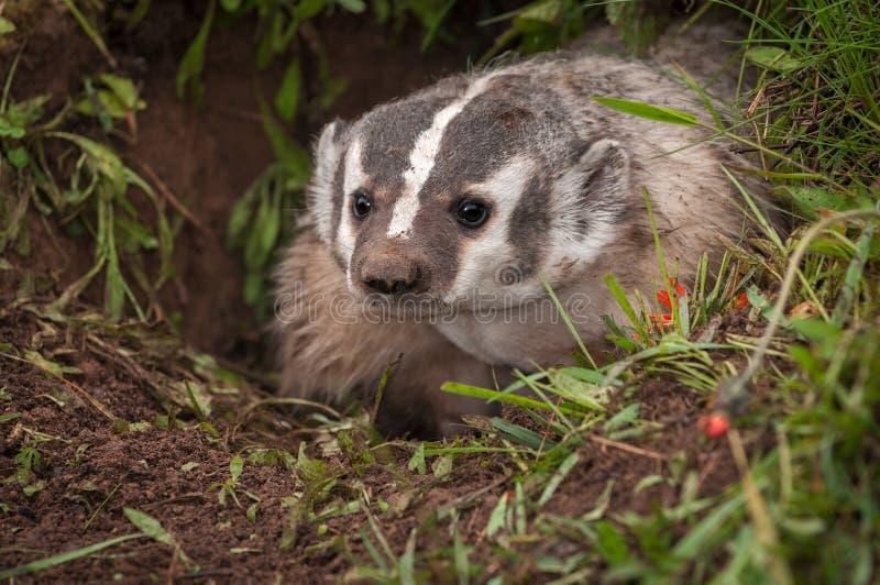 北美洲獾獾亚科类罗汗松从小室凝视  免版税图库摄影