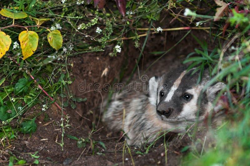 北美洲獾(獾亚科类罗汗松)从小室看  免版税库存图片