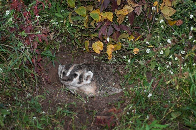 北美洲獾(獾亚科类罗汗松)从洞穴注视  图库摄影