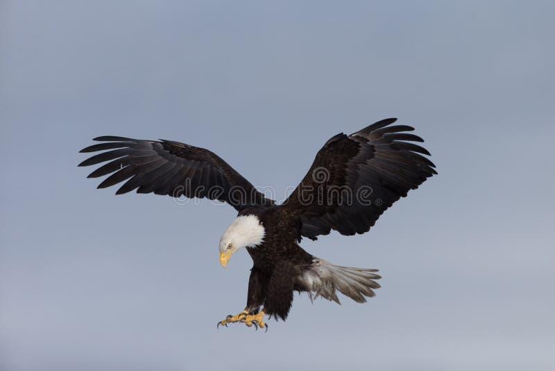 北美洲白头鹰着陆 库存照片