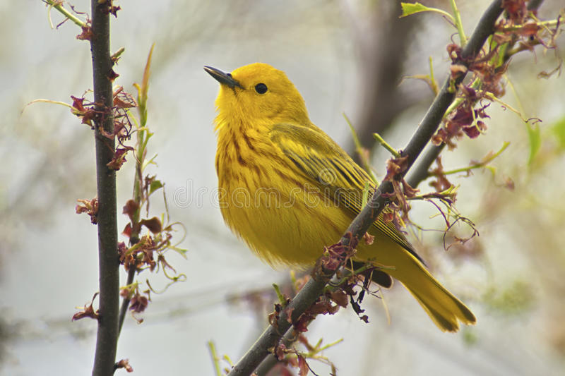 北美黄色林莺 图库摄影