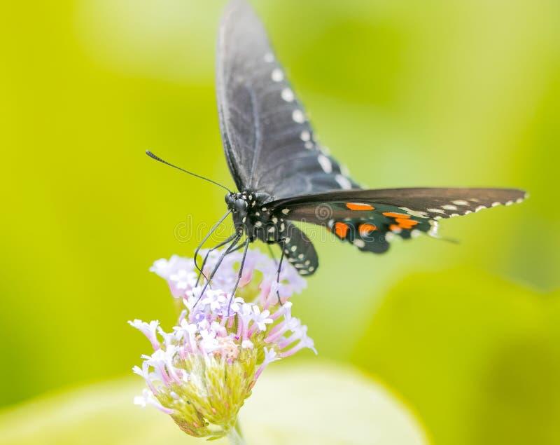 北美洲swallowtail蝴蝶,宏观射击的关闭 库存照片