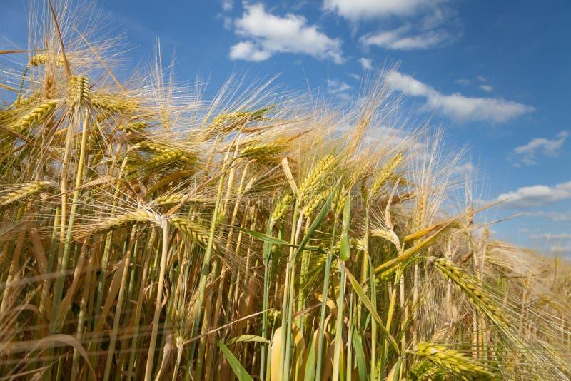 北莱茵-威斯特伐利亚州,粮田,大麦领域, spik 库存图片