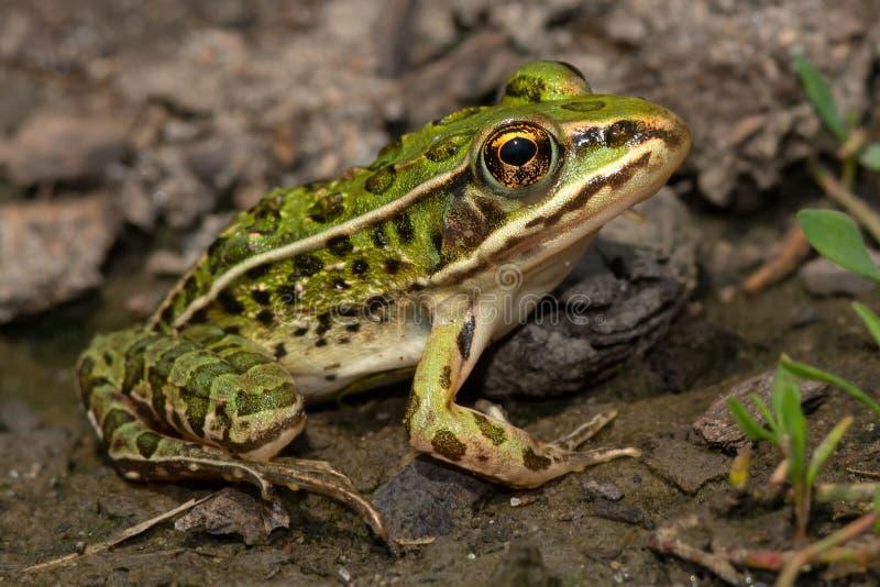 北豹子青蛙 免版税库存照片