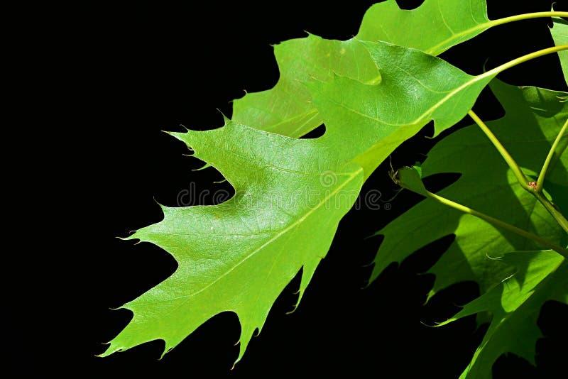 北赤栎在黑背景的Quercis Rubra绿色叶子  免版税库存图片