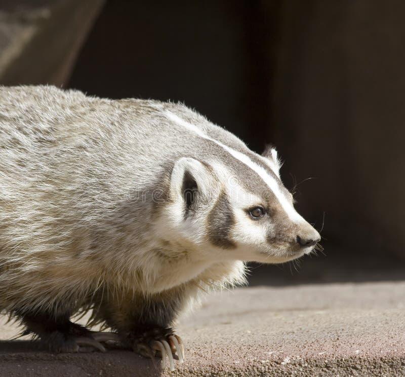 北部美国的獾 免版税库存照片