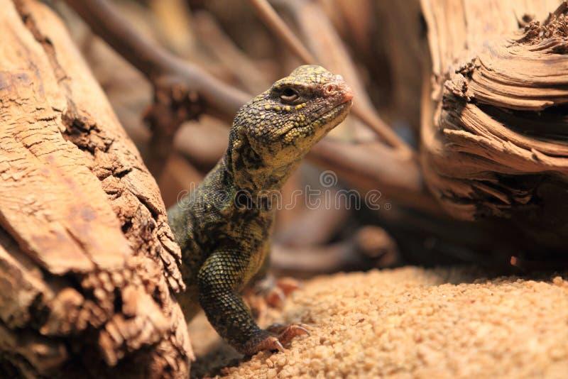 北部非洲人多刺被盯梢的蜥蜴 库存照片