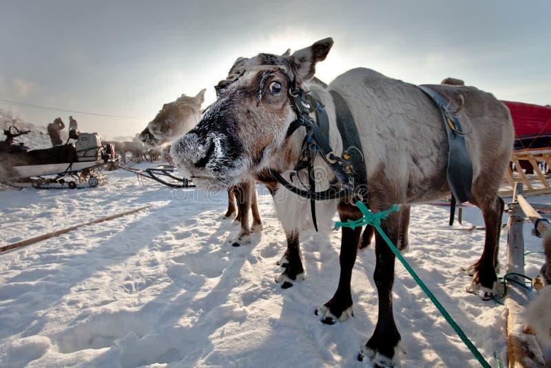 北鹿在寒带草原 库存图片