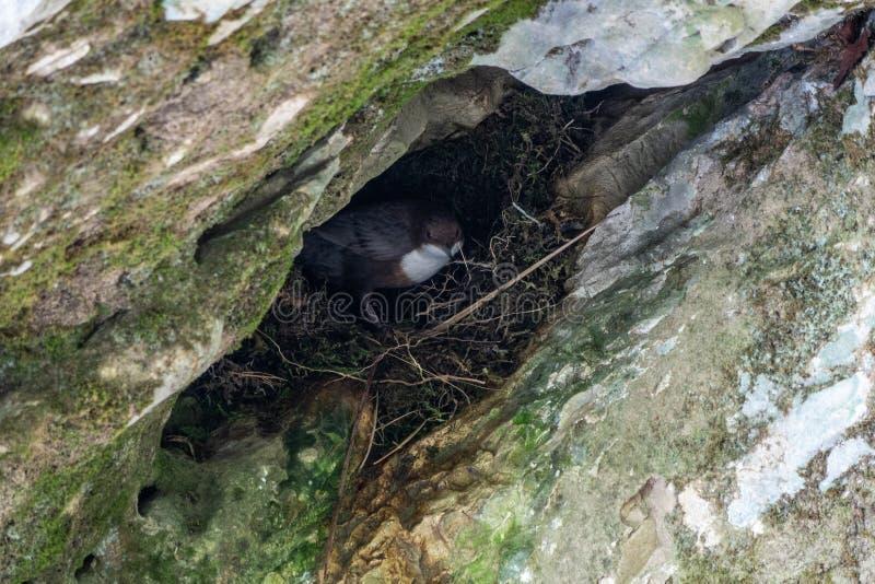 北麦翁之类的鸣禽或麦翁之类的鸣禽,拉特的小黑白鸟 Oenanthe oenanthe在巢坐 库存照片