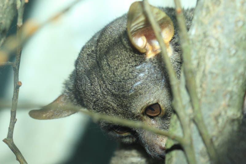 北更加伟大的狐猿属 免版税库存图片