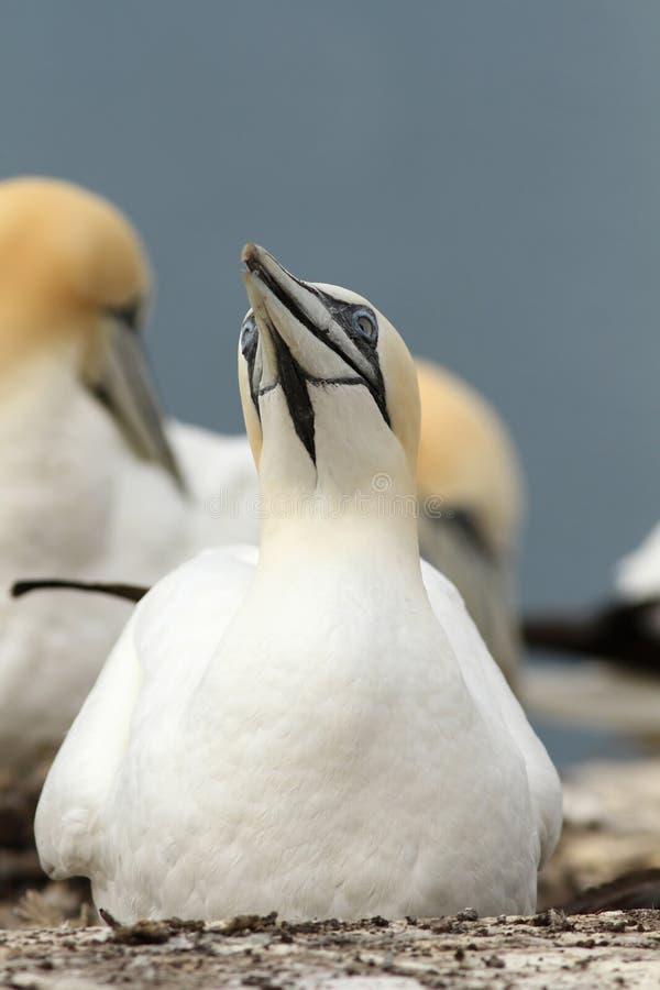 北gannet坐其嵌套 库存照片