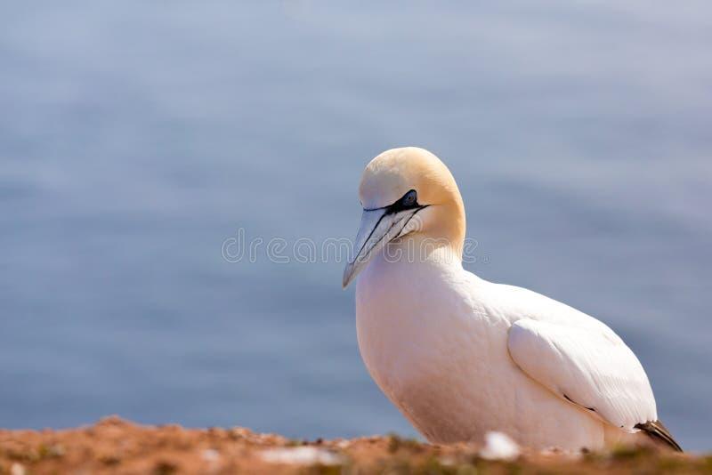 北gannet坐岩石 免版税图库摄影