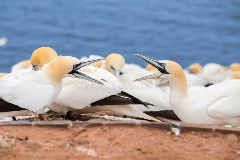 北gannet坐巢 免版税库存照片