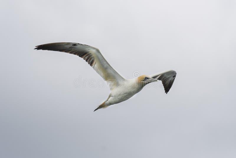 北gannet桑属bassanus在飞行中在Ma附近小岛  库存照片