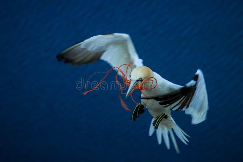 北Gannet桑属bassanus给巢带来嵌套材料 库存照片