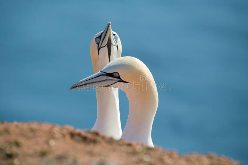 北gannet,在爱的鸟 库存图片