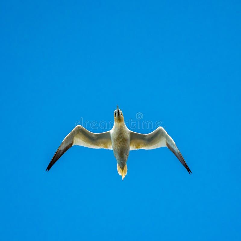 北gannet,桑属bassanus,在飞行中 免版税图库摄影