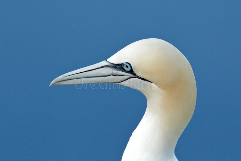 北gannet,海鸟细节头像坐巢,与深蓝海水在背景中,Helgoland, 库存照片